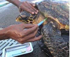 Soins donnés aux tortues malades à l'observatoire des tortues marines Kélonia