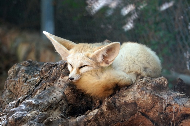One proposal for a border barrier would include fennec foxes to aid border patrol.