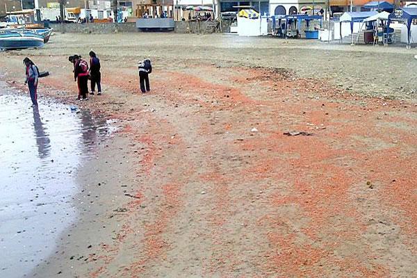 Peru: Thousands of DEAD Crustaceans