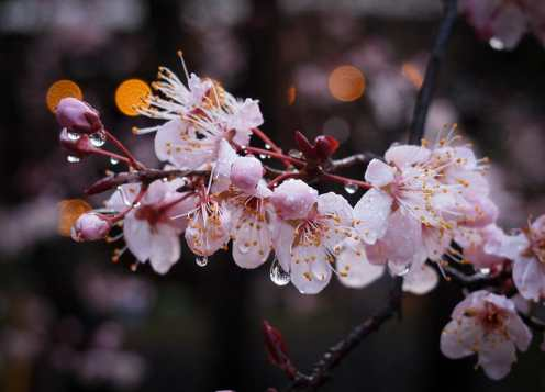 blossoms on the ornamental plum
