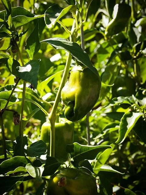 Pasilla peppers