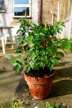 Chili plant is enjoying the sun