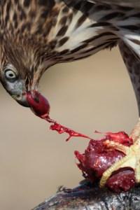 hawk-heart