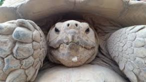 Lonesome George Was the Last Pinta Island Tortoise