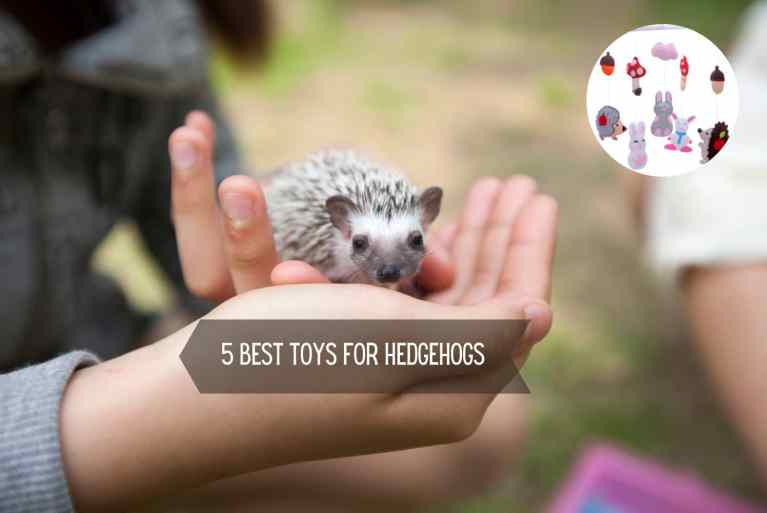 5 Best toys for hedgehogs