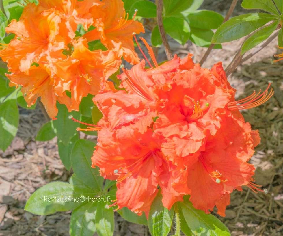 gibraltar orange azalea