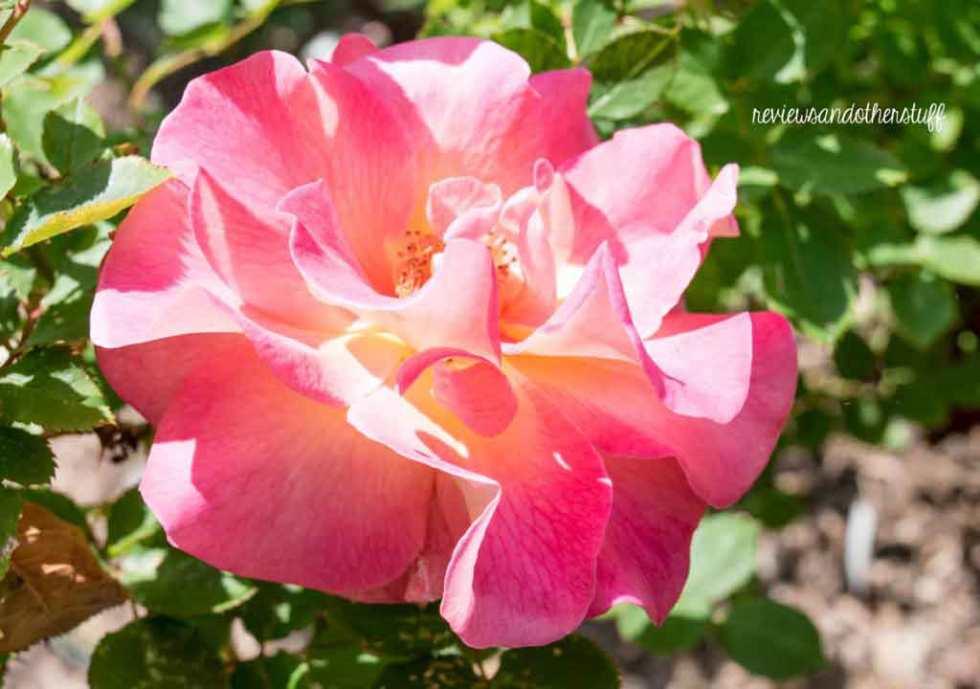rosa mardigras
