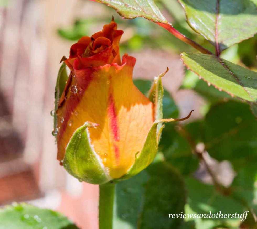 rosa mardigras rosebud