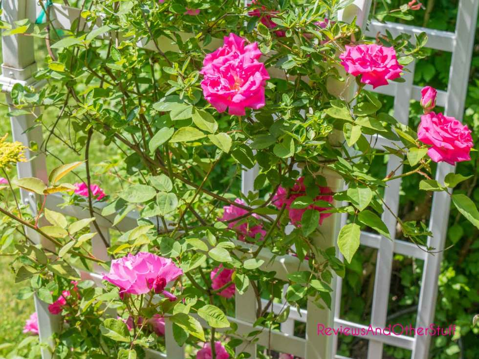 zephirine drouhin rose review