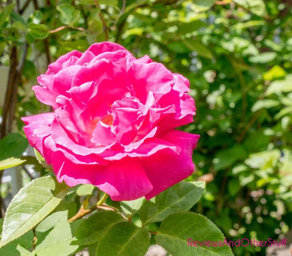 zephirine drouhin pink climbing rose