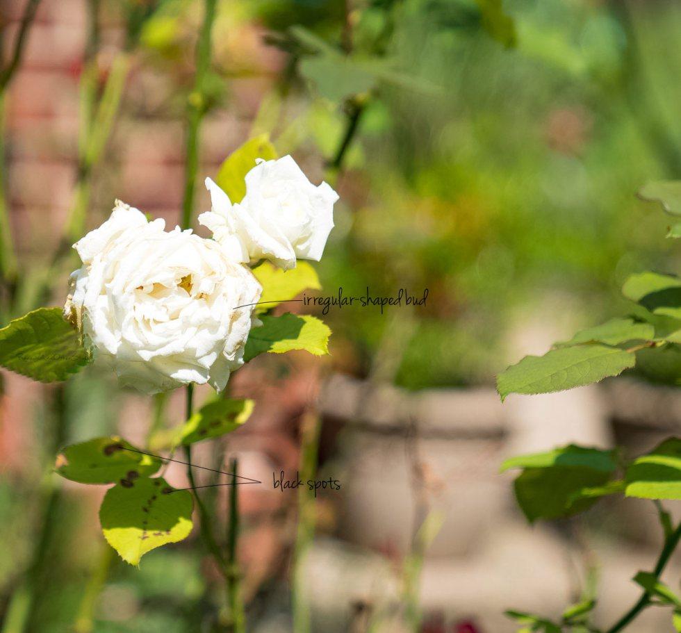 rose fungi treatment