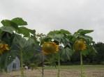 Ulleongdo, giant sunflowers, October 2012