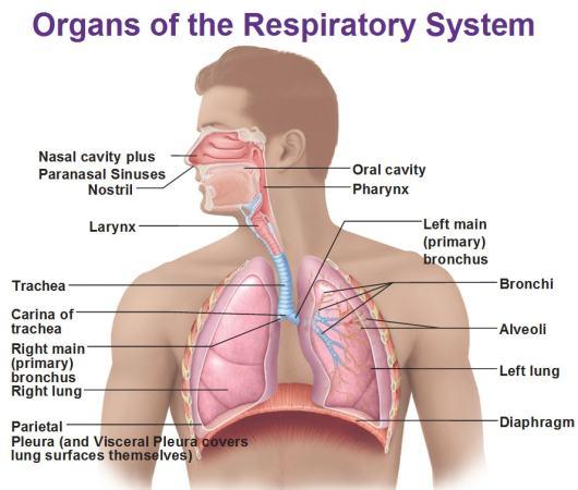 Human respiratory system. Image credit anatrik.org