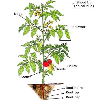 Tomato plant structure. Image credit uic.edu