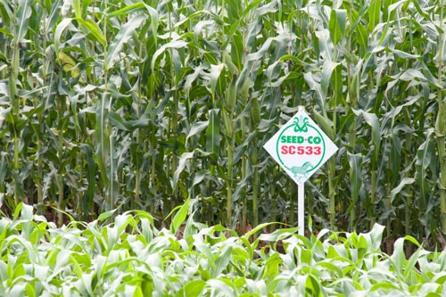 SeedCo trial fields are used for breeding seeds. Image credit seedco.co