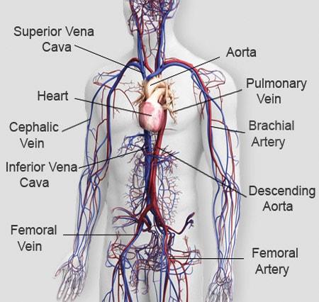 The main parts of the human circulatory system. Image credit organsofthebody.com