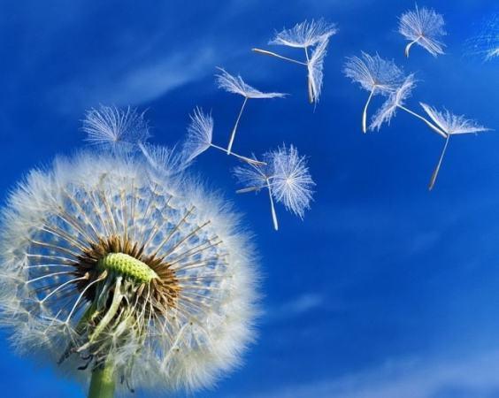 Dandelions floating in the wind. Image credit dandeliondelight.com