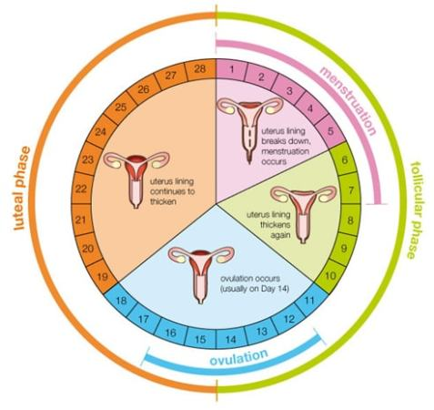 Simplified menstrual cycle chart