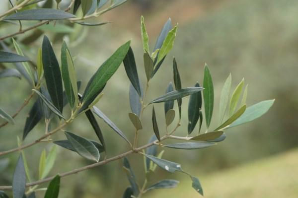 22_oliveira