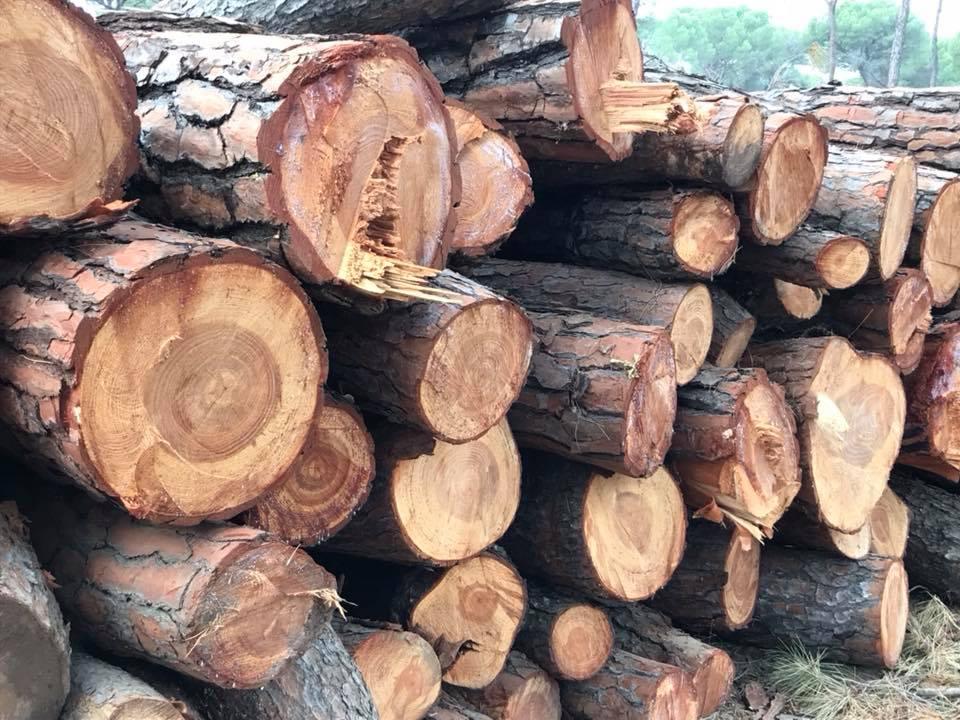 Tala de pinos2