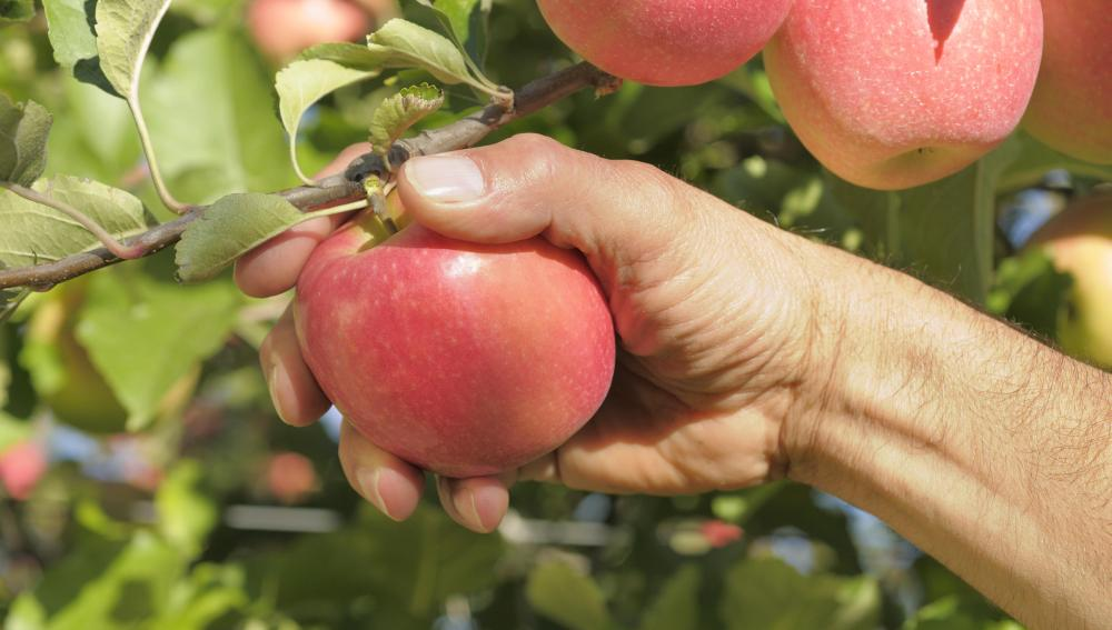 La mano al manzano
