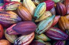 cacao, bebida de los dioses, libro de martha chapa