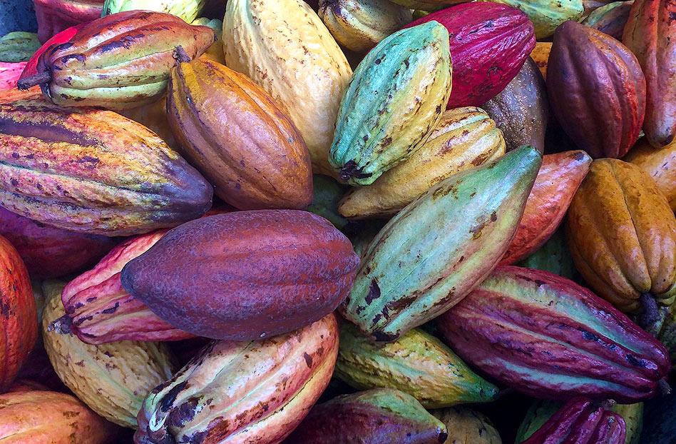 Cacao: bebida de los dioses