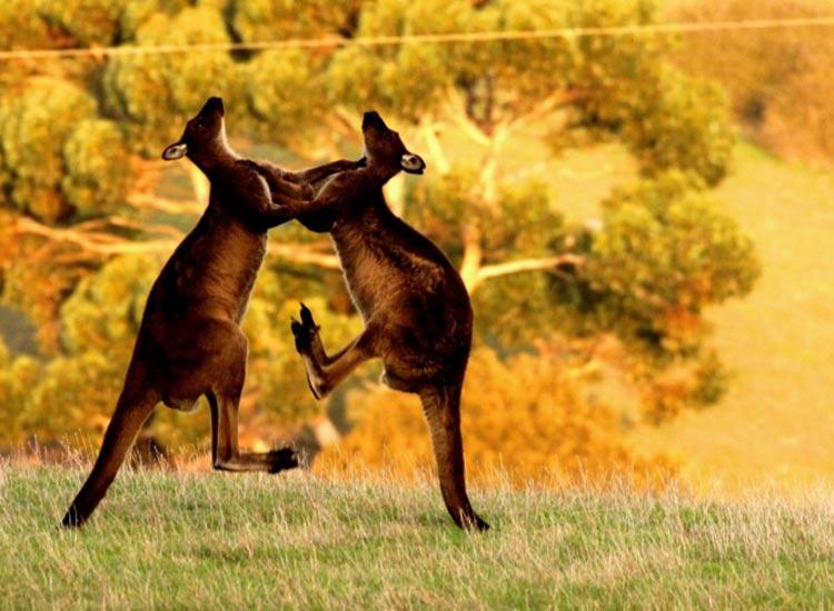 Australia: safaris fuera de áfrica