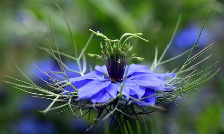Comino – El herbario