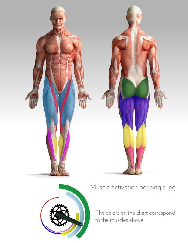Os músculos envolvidos nas fases da pedalagem
