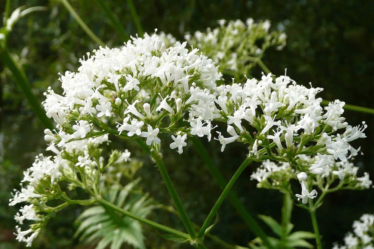 Valeriana, o plantă eficientă împotriva bufeurilor în timpul menopauzei