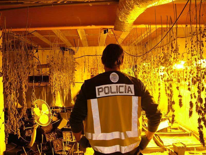 La policía encontró centenares de plantas de marihuana