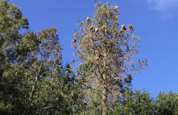 La procesionaria es una de las tres plagas que afectan a los pinos