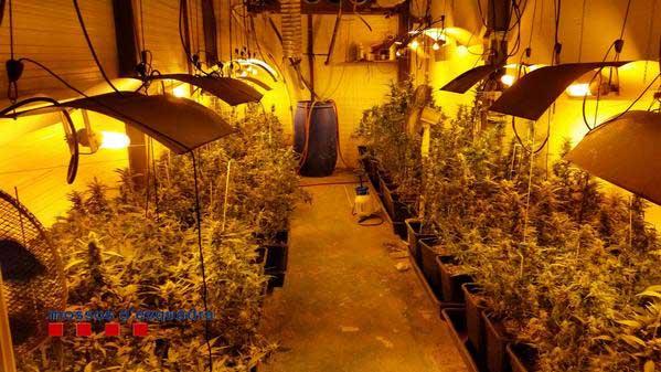 Imagen de una plantación ilegal de marihuana