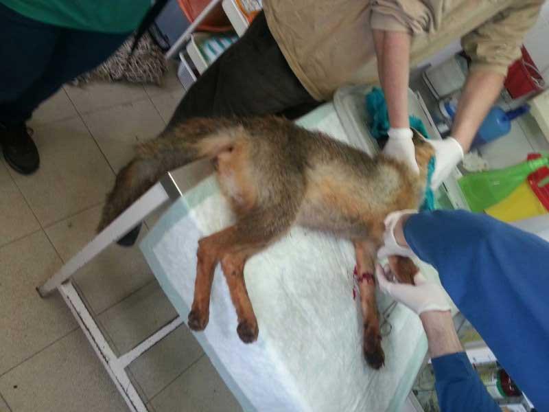 El zorro con la pata seccionada, siendo atendido. Foto: Agents Rurals