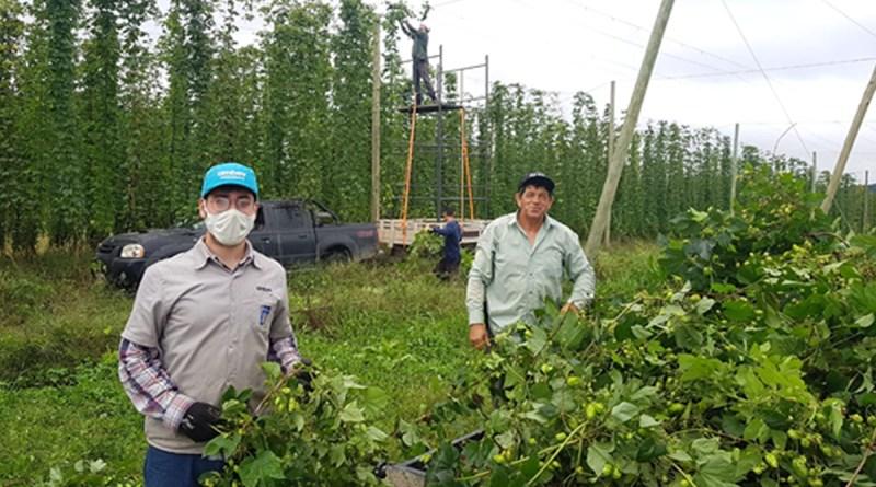 Ambev investe em tecnologia nas lavouras de lúpulo para aumentar produtividade de pequenos agricultores