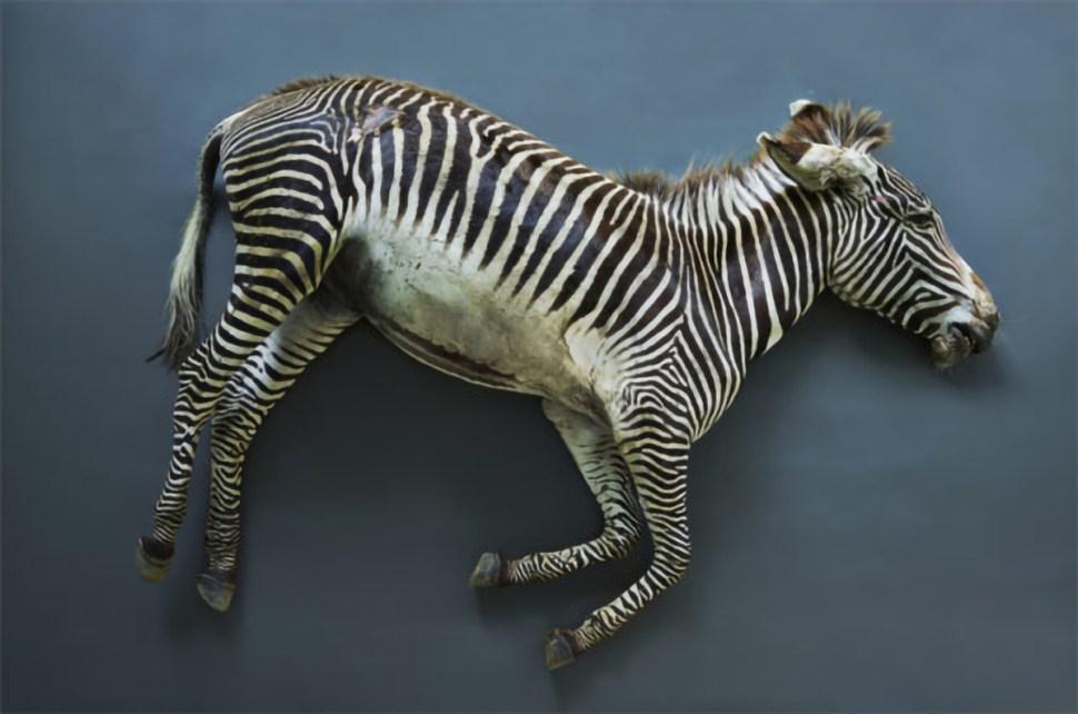 Thomas Struth, Cebra. Berlín zoo.