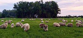 Argentina importará lana sucia de Chile para industrializarla en la Patagonia.