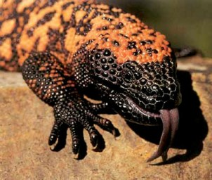 Gila-Monster-Hissing