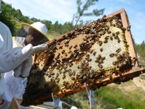 O mel fresco é rico em LAB e tem um enorme potencial terapêutico. Imagem cedida por António Hermenegildo