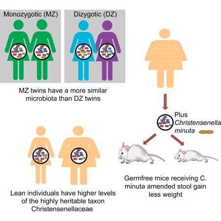 Demonstração da heritabilidade das Christensenellaceae e a sua relação com o IMC e metabolismo do hospedeiro