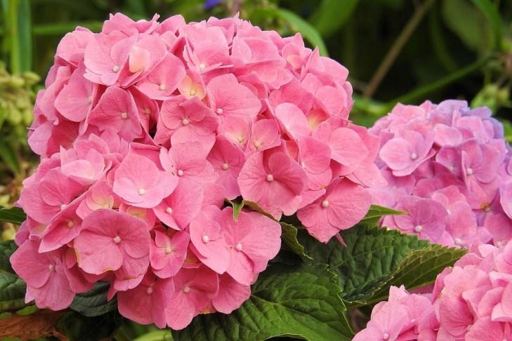 cultivar hortênsias