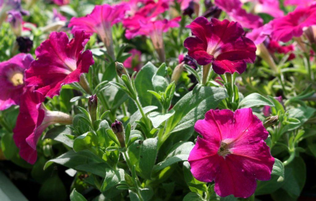 floreira de petúnias