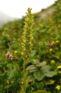 Platanthera azorica