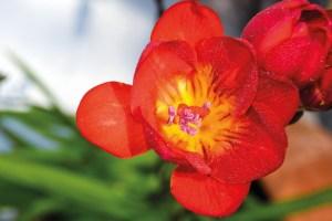 flores para cultivar na horta