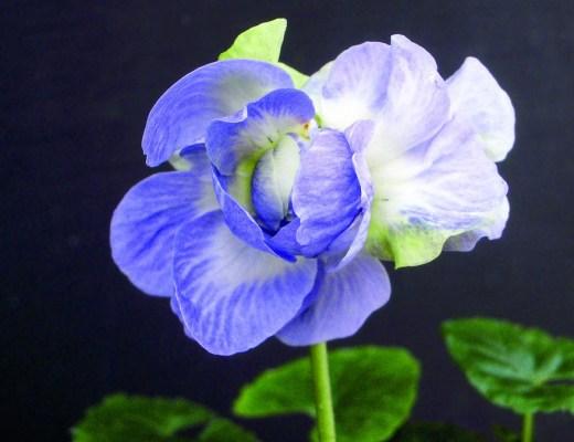 violeta-de-parma
