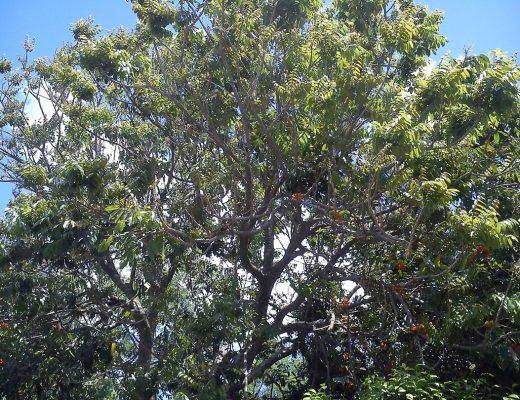 castanheiro da austrália