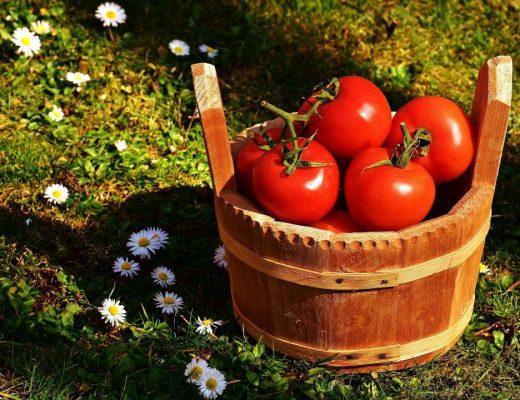 tomateiro