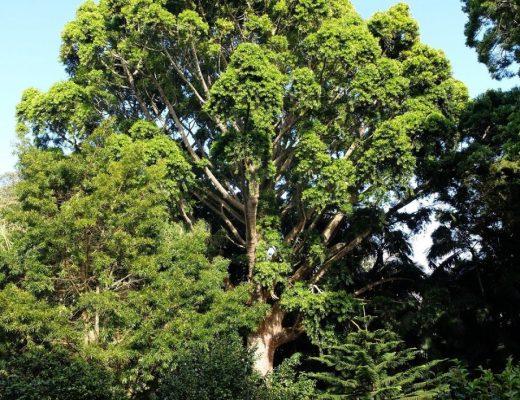 pinheiro-da-damara