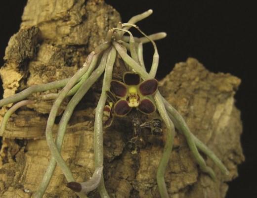 raízes das orquídeas
